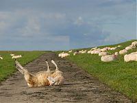 Schaf auf Rücken